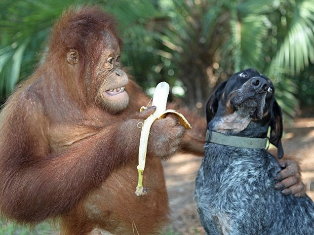 ORANGUTAN AND DOG banana